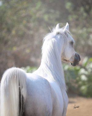 About Anvil Arabians